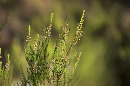 peaty: Heather grows and blooms in sandstone.