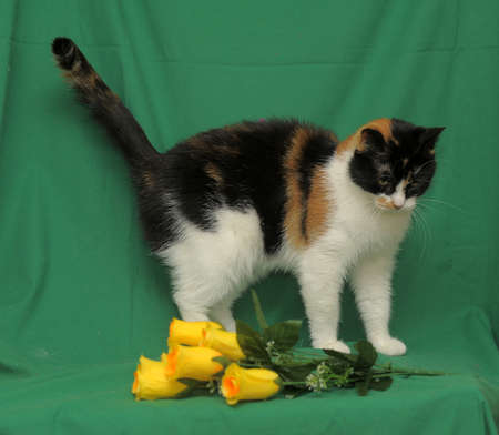 trichromatic: tricolor cat and yellow roses on a green background Stock Photo