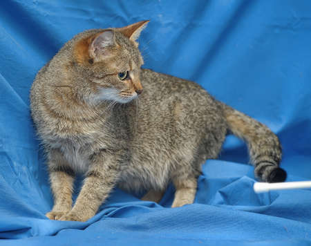 house trained: gray striped cat on a blue background