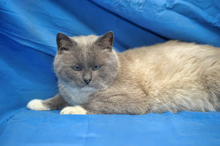 Siamese cat on a blue background photo