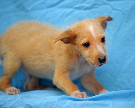 pooch: Cute little brown pooch puppy