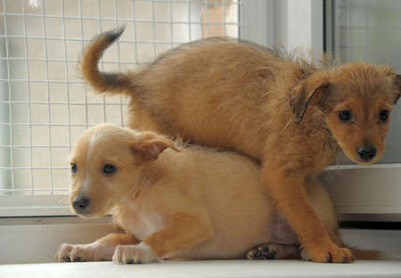 Two red terrier puppy play photo