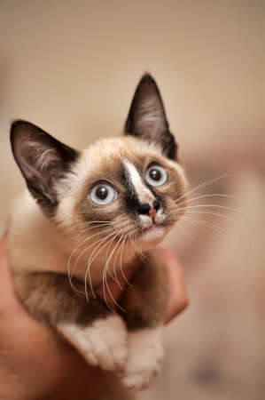 Funny siamese kitten color Point. photo