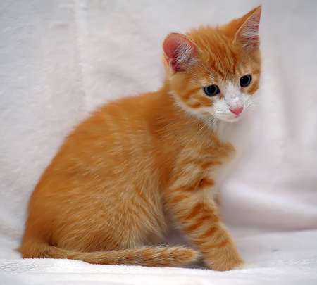 prying: Ginger kitten European Shorthair breed.