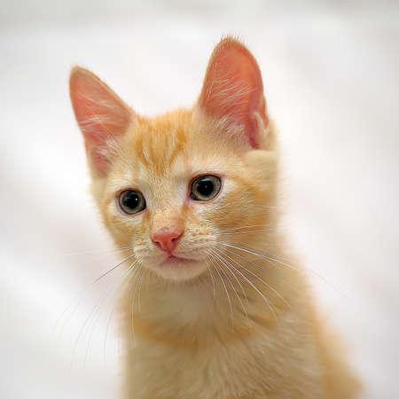 Ginger kitten European Shorthair breed. photo