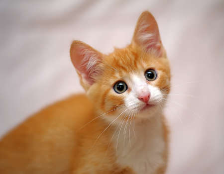 prying: Cute ginger kitten with blue eyes