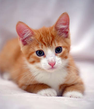 snooping: Cute ginger kitten with blue eyes