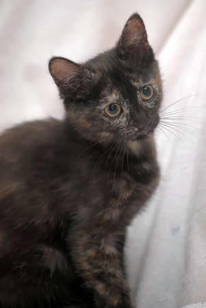 Cute kitten black with ginger photo