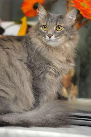 Fluffy gray cat Norwegian Forest