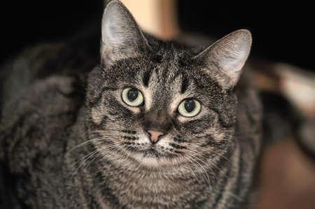 Cute chubby tabby shorthair cat.