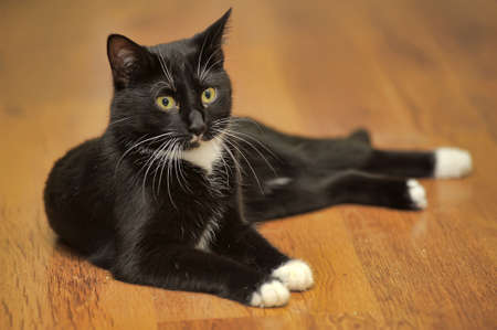 warm blooded: graceful black and white cat