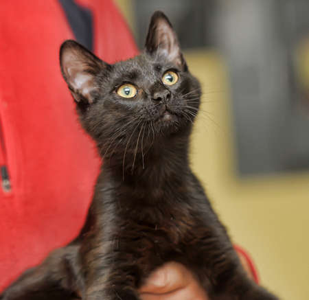 moggi: young black Bombay cat in hands