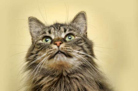 laying forward: Portrait of a beautiful fluffy cat.