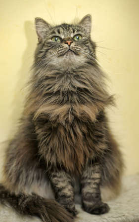 laying forward: beautiful fluffy cat