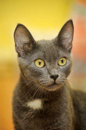 Russian blue beautiful gray cat. photo