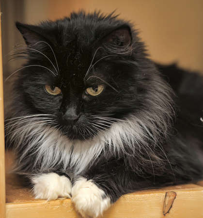 purring: Black and white fluffy cat