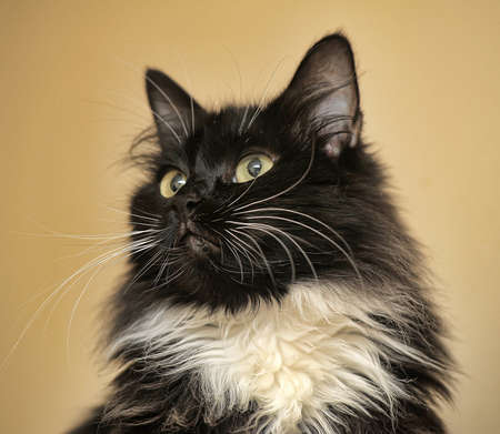 purr: Black and white fluffy cat
