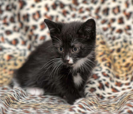 catchlight: Black kitten with a white chest and paws. Stock Photo