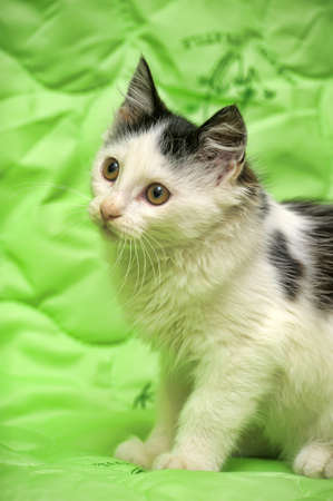 catchlight: Black and white fluffy kitten on a green background.