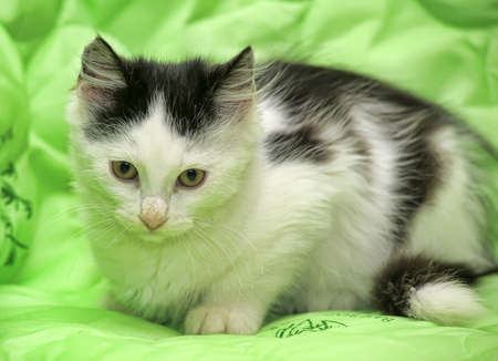 bicolor: Black and white fluffy kitten on a green background.