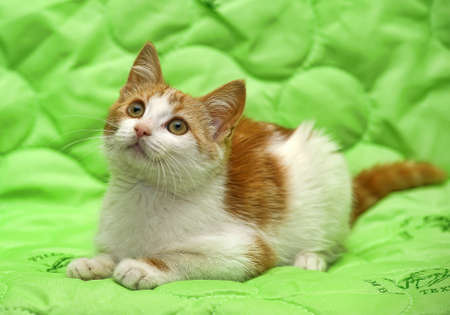 Red and white kitten on a green background. photo