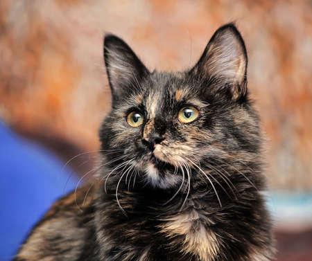 calico whiskers: Young Cute Torbie Kitten Cat.