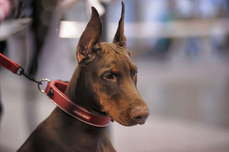 doggy position: doberman