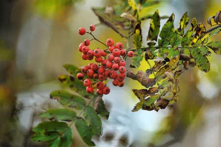 bunchy: Closeup of a mountain ash branch showing the autumn berries.
