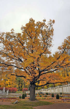 Oak of times of Great Peter in park Kadriorg. Tallinn. photo
