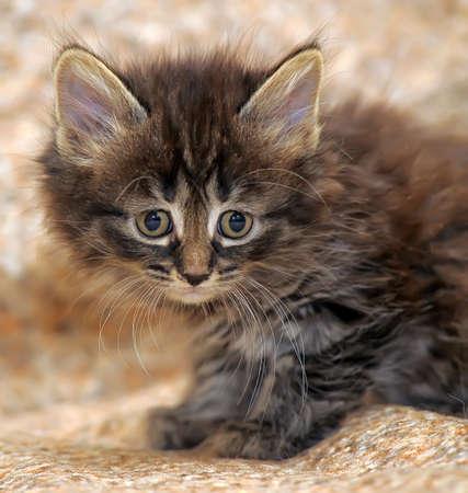 pity: Little Siberian kitten with scared eyes.
