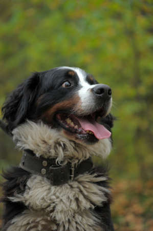 black giant mountain: Bernese Mountain dog talking a walk in the countryside.