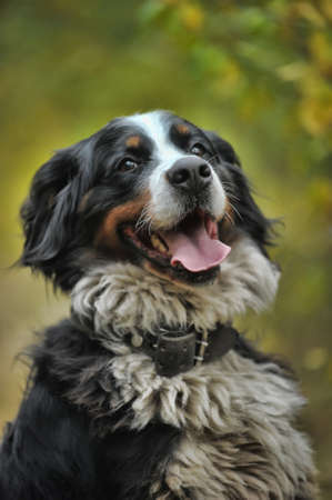 Bernese Mountain dog talking a walk in the countryside. photo