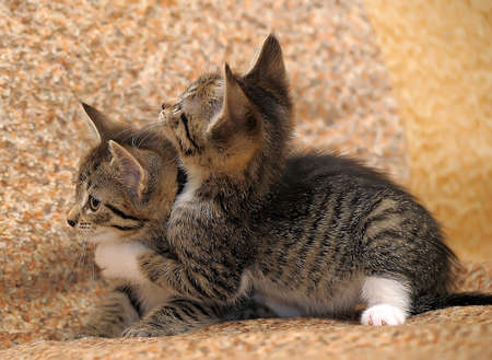 Closeup of two kittens playing. photo