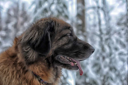 A young leonberger posing against the background of a winter landscape. photo