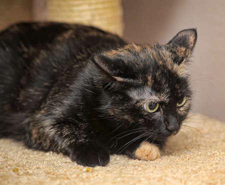 tortoiseshell: Tortoiseshell cat Stock Photo