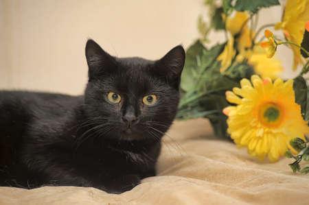 moggi: Bombay black cat and yellow flowers