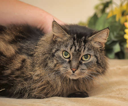laying forward: beautiful fluffy brown cat Stock Photo