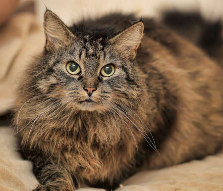 beautiful fluffy brown cat photo