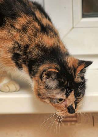calico whiskers: Tortie with white cat sitting on the windowsill.