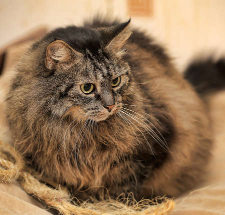 lying forward: Beautiful Siberian brown cat with an angry look. Stock Photo