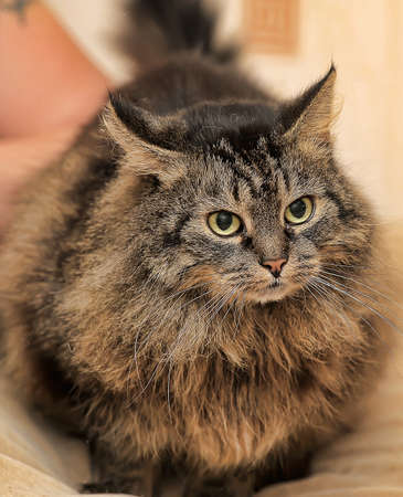 laying forward: Beautiful Siberian brown cat with an angry look. Stock Photo