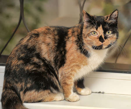 calico whiskers: Tortie with white cat sitting on the windowsill