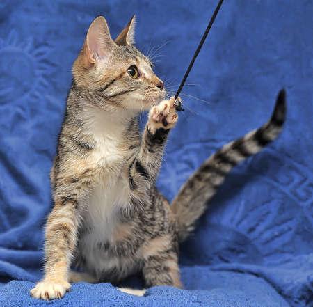 grey eyed: Tabby kitten on blue background