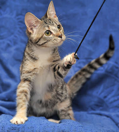 Tabby kitten on blue background photo