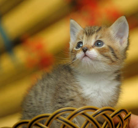 charming kitten in a wicker basket photo