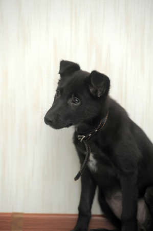 weenie: Cute small black puppy pooch.