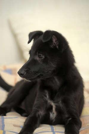 pooch: Cute small black puppy pooch.