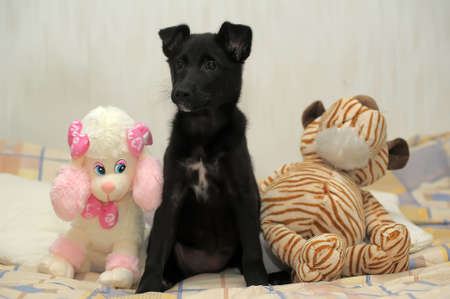 pooch: Small black puppy pooch with a toy