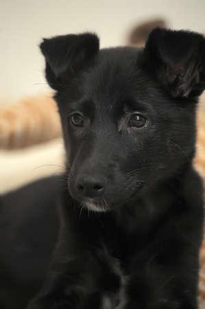 pooch: Small black puppy pooch