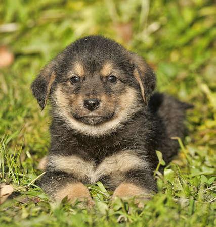 Portrait of young german shepherd dog. photo